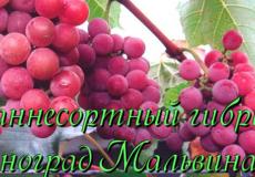 виноград мальвина