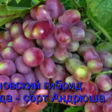 виноград андрюша