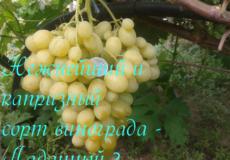 виноград ладанный 2