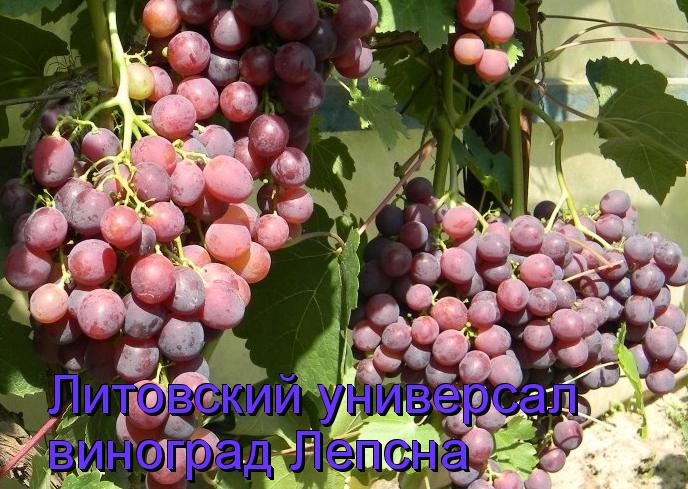 виноград Лепсна