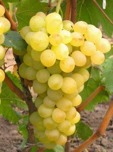 амурский виноград золотой потапенко