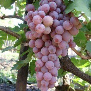 сорт розовый жемчуг на ветке