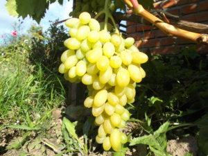 ветка винограда арсеньевский