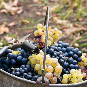 сбор винограда глория