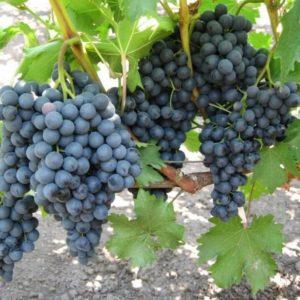 черный изумруд в винограднике