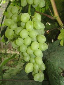 урожайность винограда арсеньевский