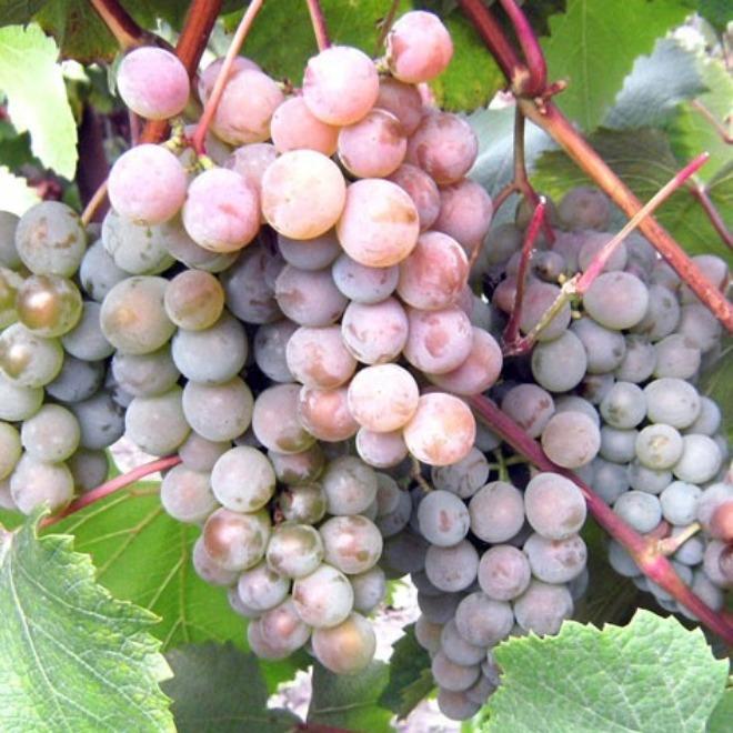 ягоды винограда розовый жемчуг