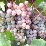 Виноград сорта розовый жемчуг