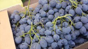 У сорта Черный ворон средний размер грозди