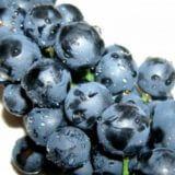 черные ягоды сорта