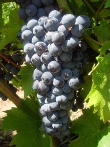 ветка винограда Черный доктор