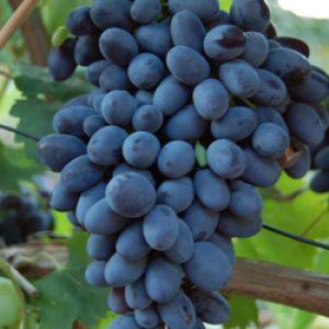 виноград декабрьский на ветке
