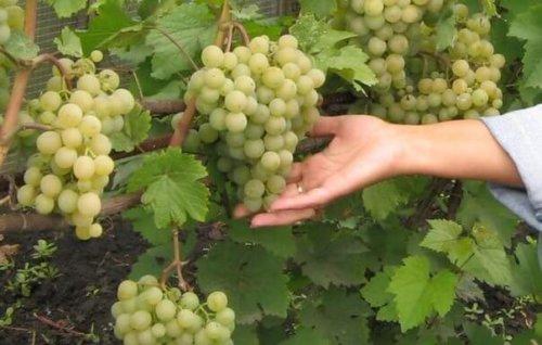 сорт дикого растущего винограда