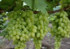 выращивание винограда арсеньевский