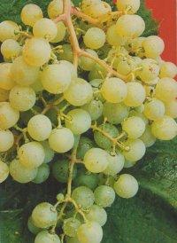 ягоды сорта Золотой Потапенко