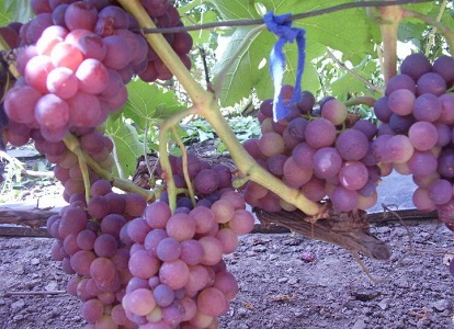 грозди розового жемчуга