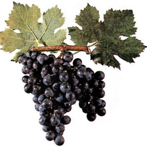 гроздь винограда бычий глаз
