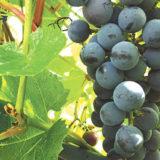 Виноград сорта Добрыня