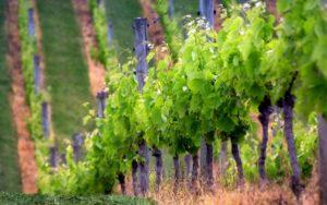 виноград гагаринский