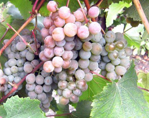 кисти винограда розовый жемчуг