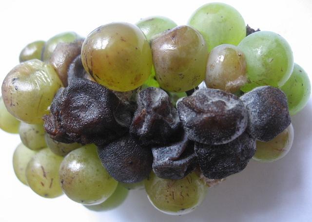 Черная гниль на винограде