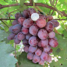 гроздь сорта граф монте кристо