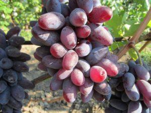 Виноград Байканур