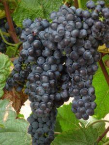 Описание виноград Амурский