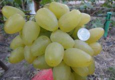 Виноград Бажена мин