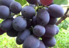 Виноград Фуршетный