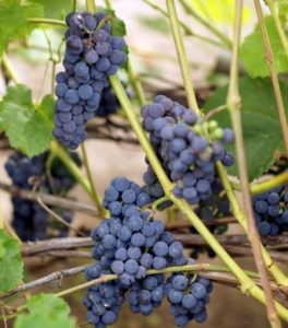 сорт винограда Мариновский