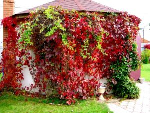уход виноград Амурский