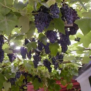 Особенности виноград Амурский