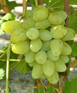 особенности виноград Бажена