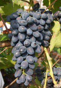 описание виноград Фуршетный