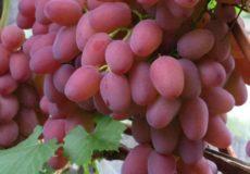 Описание винограда Гелиос
