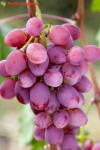 Описание сорта виноград Рута