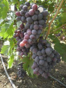 Особенности ухода виноград Фуршетный