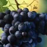 Сорт винограда Шахтер