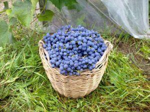 урожай сорта винограда триумф