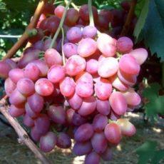 сорт винограда парижанка