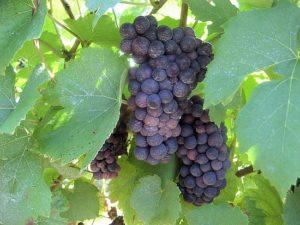 гроздь винограда триумф