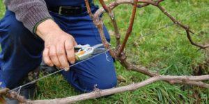 обрезка винограда триумф