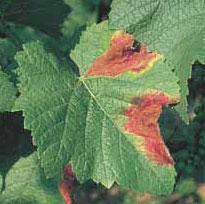 краснуха листьев