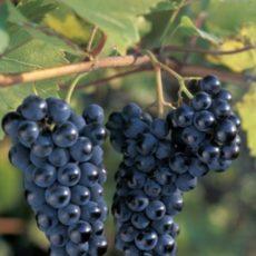 гроздья винограда маркетт
