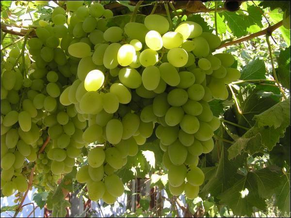 Сорт винограда Талисман уход