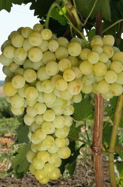 Особенности ухода Виноград Бианка