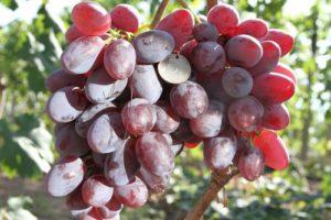 виноград сорта подарок ирине