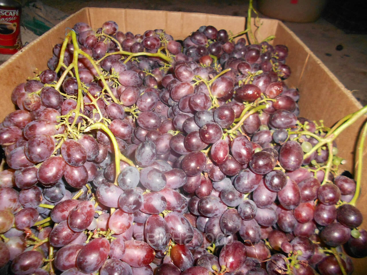 Виноград сорт Шоколадный
