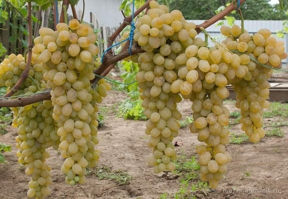 сорт винограда Валентина